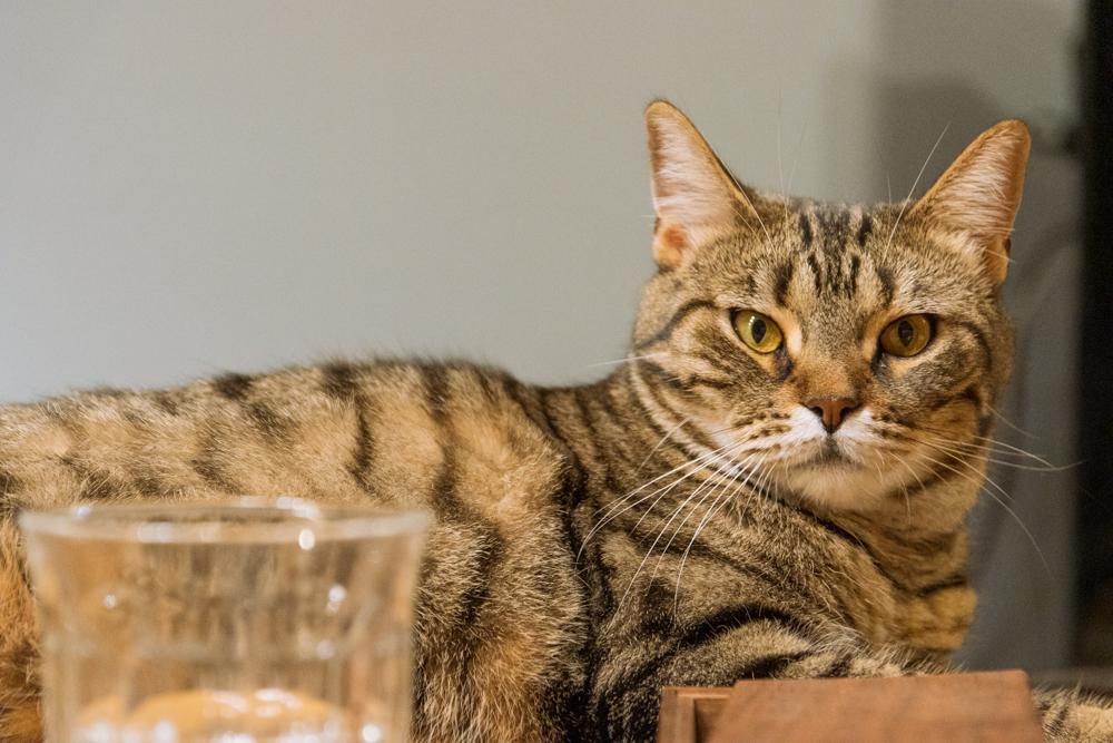 自宅でくつろぐ家猫