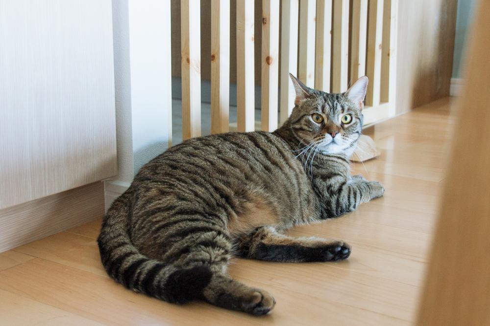 危機が去ったとの報告を寝そべりながら受ける猫