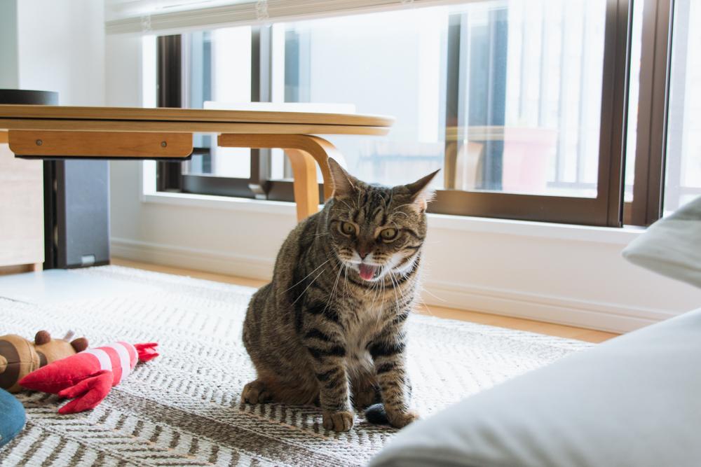 咳をする猫