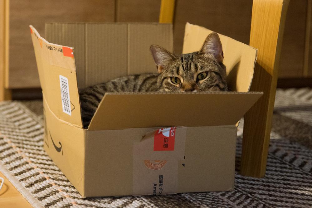 段ボールに籠城する猫