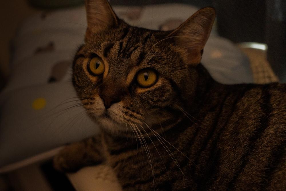 目を爛々とさせる猫