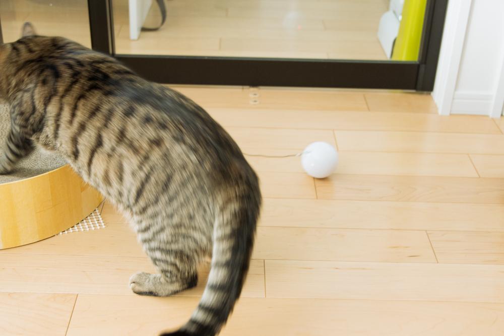 自動式ボールおもちゃHome Run Smart Ballに飛びつく猫