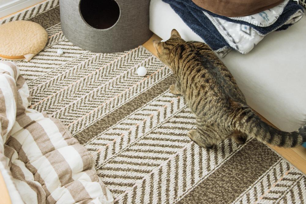 ピンポン玉に興味を示す猫
