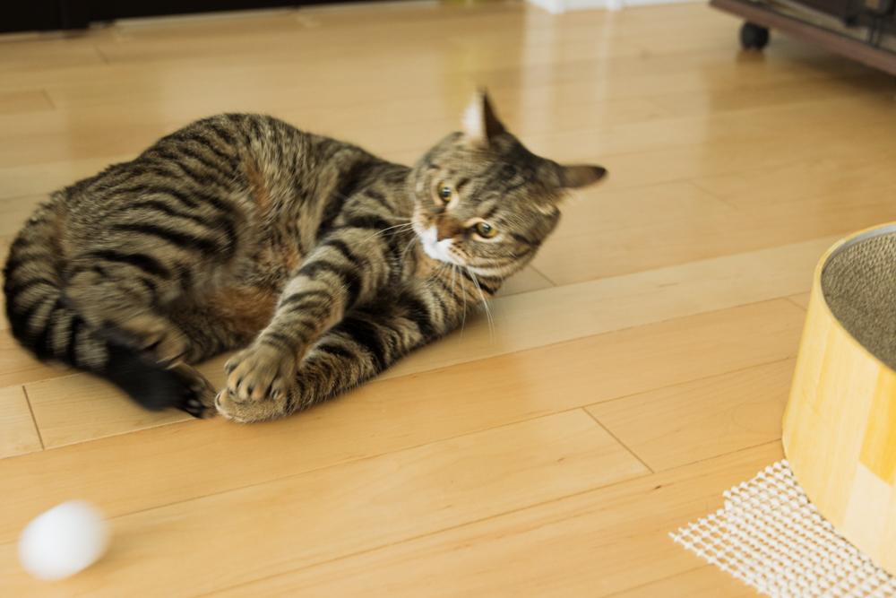 ピンポン玉を抱えて蹴ろうとしたものの、失敗した猫